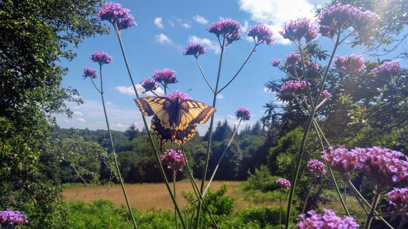 Swallowtail in Brittany.